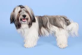 Low Shedding Dogs In India by Havanese Dog Breed Information Pictures Characteristics U0026 Facts