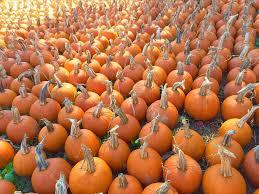 Tucson Pumpkin Patch by 100 Pumpkin Patches Salem Or Badger Pumpkin Patch West