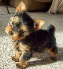 Shed Free Dogs Pictures by Best Small Dogs That Dont Shed Some Dog Breeds Are Considered Low