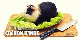 comment cuisiner un cochon le cuy spécialité culinaire péruvienne