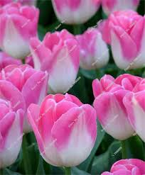 pink tulip bulbs beautiful perennial flowers bulbs tulip