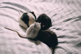 Four rats in bed sheets freestocks