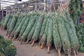 Types Of Christmas Trees Canada by The Top 10 Places To Buy A Christmas Tree In Toronto