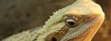 Reptile Heat Lamps Safety by Heating A Bearded Dragon Habitat How To Heat A Bearded Dragon Tank