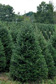 Fraser Fir Christmas Trees Nc by Christmas Tree Fraser Fir Wholesale Christmas Tree Farms