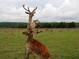 Deer Antler Shedding Cycle by Antlers Are Miraculous Face Organs That Could Benefit Human Health