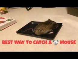 tom cat mouse trap best way to catch a mouse or mice