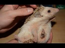 422 best hedgehogs images on pinterest animals baby animals and