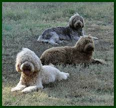 Dogs That Shed Very Little by Southern Charm Labradoodles American And Australian Labradoodle