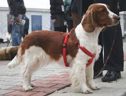 Springer Spaniel Shed Hunting by Welsh Springer Spaniels Dogbreedlist Org Dogbreedlist Org