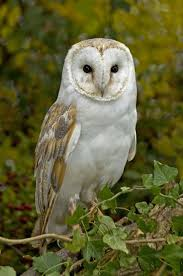 1538 Best OWLS Images On Pinterest | Owl Photos, Beautiful Birds ... Amazing Barn Owl Nocturnal Facts About Wild Animals Barn Owl By David Cooke For Sale The Sculpture Parkcom Rhodium Comes To Canada With Its Striking New Nocturnal Nature Flying Wallpapersbirds Unique Hd Wallpapers Owls In Kuala Lumpur Bird Park Stock Photo Image 87325150 Biocontrol View Common In Malaysia Sekinchan Paddy Field Youtube Another Blog Farmers Friend Bear With Him Girl Mom Birds Of World Owls