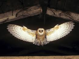 Flying Owl - Google Search   Birds: Owls, Raptors   Pinterest ... Barn Owl Tyto Alba 4 Months Old Flying Stock Photo Image Beauty Of Bird Our Barn Owl The Tea Rooms Chat Rspb Community A Flying At Folly Farm In Pembrokeshire West Wales Winter Spirit By Hontor On Deviantart Audubon Field Guide Vector 380339767 Shutterstock Wallpaper 12x800 Hunting A Royalty Free Tattoos Tattoo Ideas Proyectos Que Debo Ientar