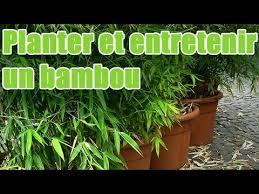 entretien des bambous en pot comment planter et entretenir un bambou pour balcon balcon