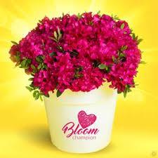 tigridia pavonia mix 20 flower bulbs buy order now