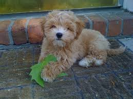 Small Non Shedding Dogs For Adoption by Best 25 Small Hypoallergenic Dogs Ideas On Pinterest Small
