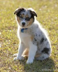 Small Non Shedding Dogs Australia by Australian Shepherd Breed Guide Learn About The Australian Shepherd