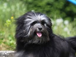 Dogs That Shed Very Little by The 10 Dog Breeds That Shed The Least U2013 Iheartdogs Com