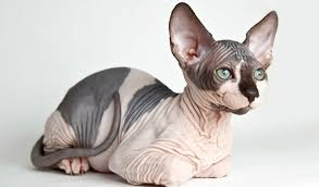 Sphynx Cat Breed Information