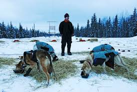 100 Quest Trucking With Low Snow Yukon Mushers Will Truck Dogs Between Two