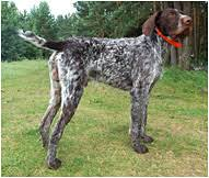 Griffon German Wirehaired Pointer Shedding by German Wirehaired Pointer Dog Breed Facts Hill U0027s Pet