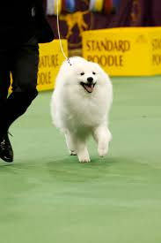 Quiet Small Non Shedding Dog Breeds by 14 Small White Dog Breeds Fluffy Little White Dogs