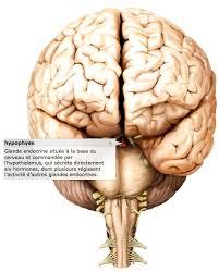 interieur corps humain femme les hormones messagers chimiques du corps dictionnaire visuel