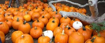 Shawns Pumpkin Patch Los Angeles Ca by Best Pumpkin Patches In Southern California 94 7 The Wave