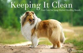 Non Shedding Dogs Large by 7 Herding Breeds That Won U0027t Make You Sneeze Low Shedding The