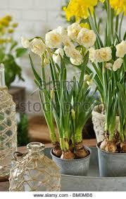 daffodil narcissus bridal crown stock photos daffodil narcissus