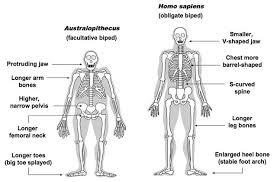 human evolution ncea biology