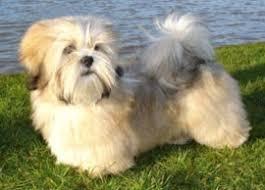 lhasa apso puppy shedding lhasa apso breeders