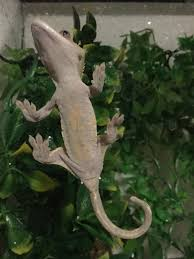 Crested Gecko Shedding Help by Crested Gecko Not Eating Underweight