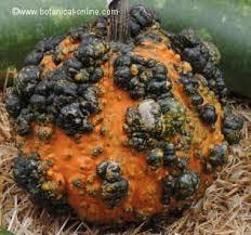 Varieties Of Pumpkins by Pumpkin Classes