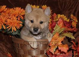 Do Shibas Shed A Lot by We Are A Breeder Of Shiba Inu Puppies Each Puppy Is Bred For