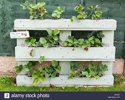 Strawberry Plants Growing In A Wooden Planter Made From An Old Pallet