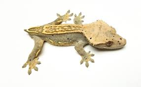 Crested Gecko Shedding Help by Dalmation Partial Pinstripe Crested Gecko By Kbk Reptiles