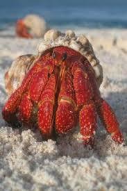 Halloween Hermit Crab Care by Reef Safe Hermit Crabs Aquariums Saltwater Aquarium And Fish