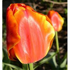 tulip darwin hybrid apeldoorn elite 10 bulbs per pkg ships oct