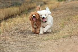 10 most popular hypoallergenic dog breeds iheartdogs com