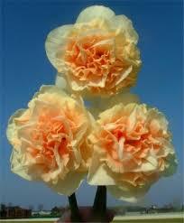 narcissi flower bulb index