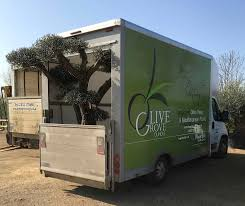 Christmas Tree Saplings For Sale Uk by Olive Grove Oundle Olive Tree U0026 Mediterranean Plant Specialists