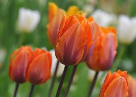 tulip princess irene front flower bed