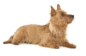 Small Non Shedding Dogs Australia by Australian Terrier