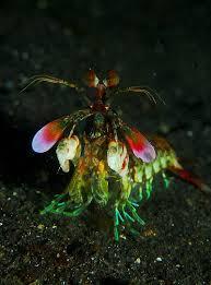 Decorator Crab Tank Mates by Mantis Marina Stomatopoda Nc Animalium Pinterest Mantis