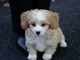 Shih Poo Dog Breed  Everything About Shih Poos