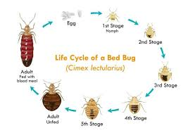 Mattresses Bed Bug Feces Sheets s Bugs That Shed Skin In