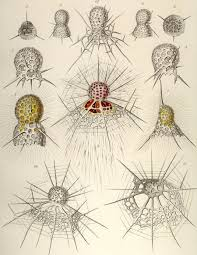Ernst Haeckel Tafel 06 Most Developmental Biologists Accept The