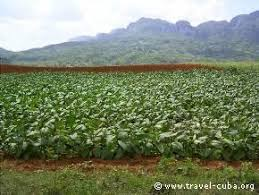Cuba Tobacco Field