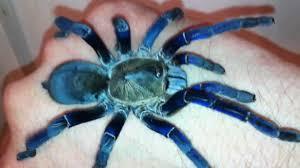 Do Tarantulas Shed Their Fangs by Cobalt Blue Tarantula Handling H Lividum Hd Calm Review Youtube