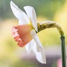 bridal crown multiflowering fragrant narcissus bulbs considered